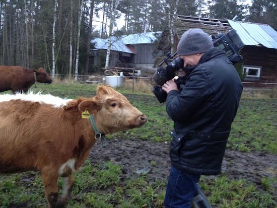 kc-lehmäjakamera