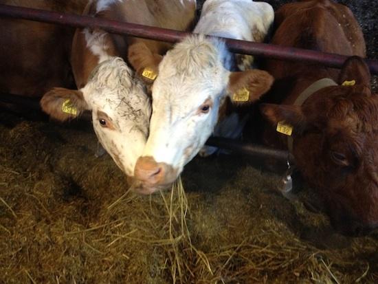 kc-lehmätsyö